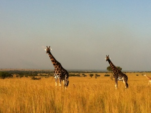 Giraffes at Murchison Falls