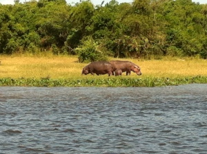 Hippos on the Nile